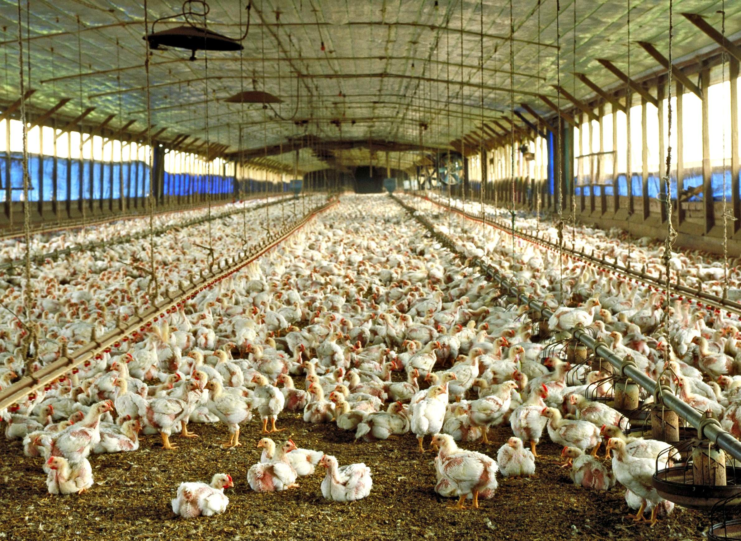 A poultry barn floor covered by young chickens