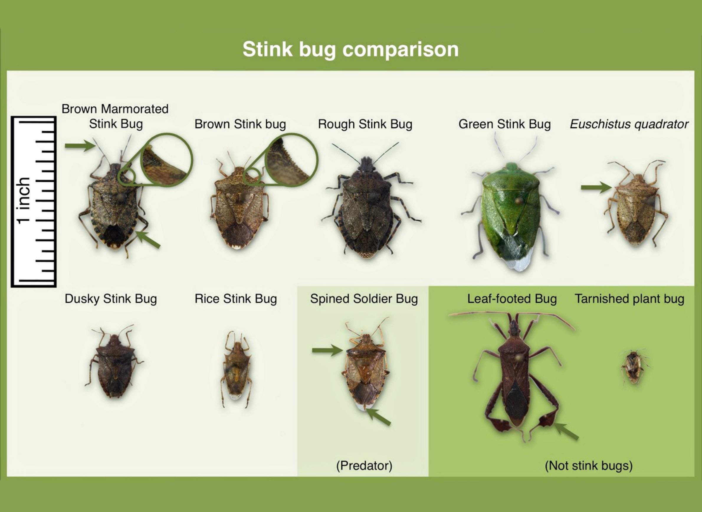 Comparison of stink bug species