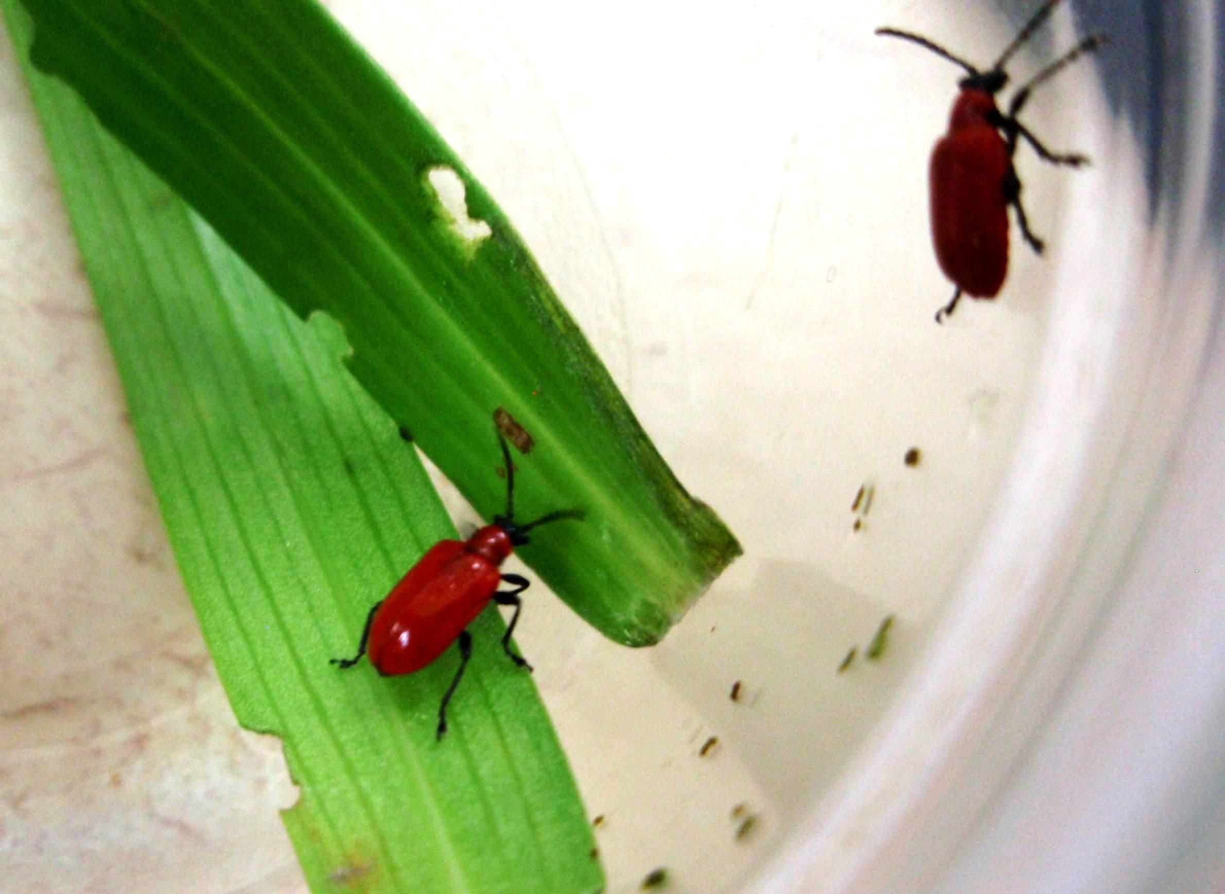 Adult lily leaf beetles