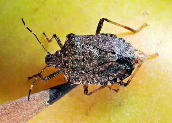 Brown marmorated stink bug on an apple