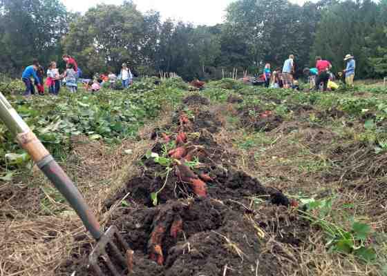 Dane County Sweet Potato Project